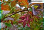 Planting technology barberry and care for it: advice from gardeners