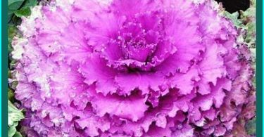 Ornamental cabbage on a bed: learn to execute properly