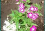 Drummond Phlox: growing from seed, planting and care