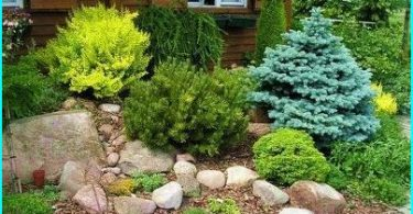 How to grow spruce: the nuances of planting and breeding methods of care +