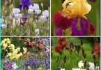 Planting of bulbous irises + cultivation and care