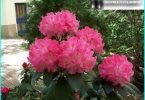 Rhododendrons: planting, cultivation and maintenance, all about reproduction