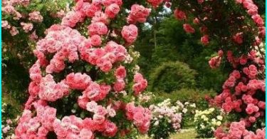 Planting and growing roses in the spring in Siberia + select hardy varieties
