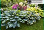 "Hosta in landscape design: how to grow a ""shadow of the Queen"" in her garden"